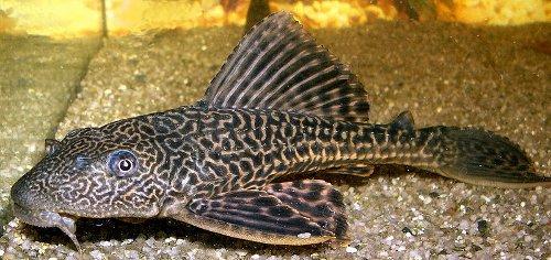 Photo: Suckermouth Catfish