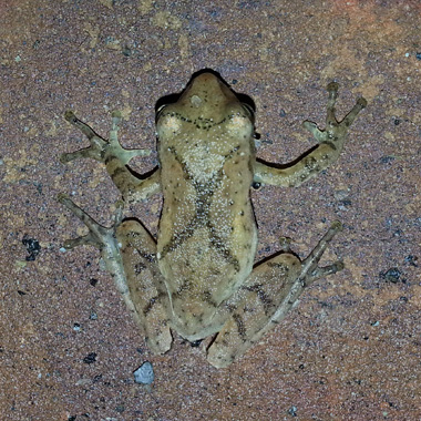Spring Peeper by Tiffany Tyler