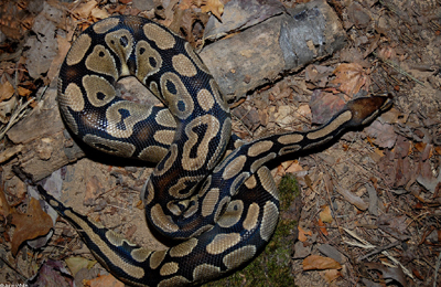 Ball Python by John White