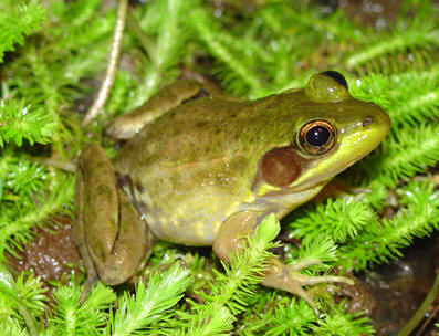 Florida Bog Frog (Lithobates okaloosae)