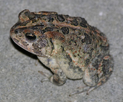 Southern Toad by Steve A. Johnson