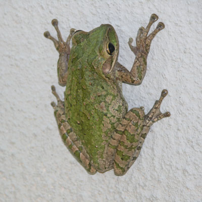 Cuban Treefrog by Esther Langan