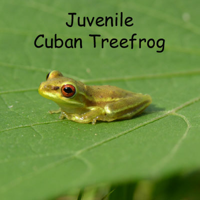 Juvenile Cuban Treefrog by Steve A. Johnson