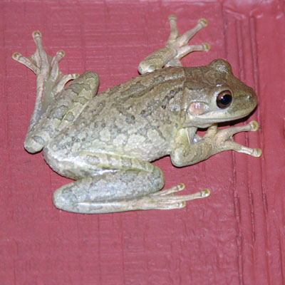 Photo: Invasive Cuban Treefrog