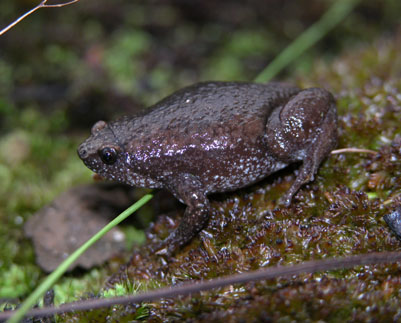 Eastern Narrow-mouthed Toad by Bob Fewster