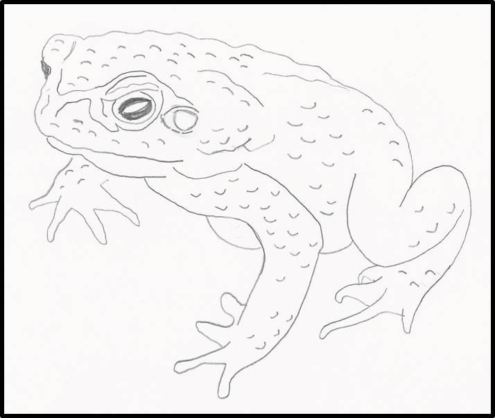 cane toad drawing