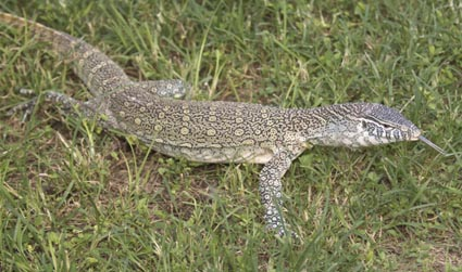 Nile Monitor Lizard by Patrick Lynch, SFWMD