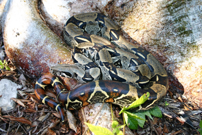 photo of boa constrictor showing tan body marked with brown, saddle-like bands; bands on tail are reddish brown