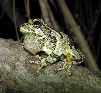 Cope's Gray Treefrog by Steve A. Johnson