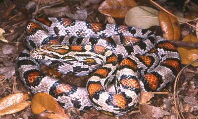 photo of grayish cornsnake with dark reddish blotches outlined heavily in black