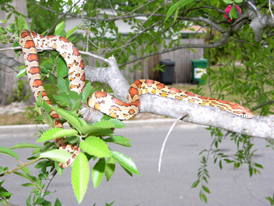 photo of orange-tan cornsnake with reddish orange blotches