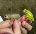 tree frogs in hand