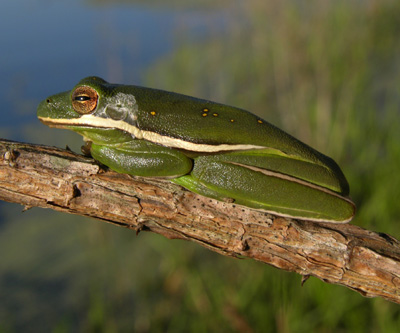 Green Treefrog by Steve A. Johnson