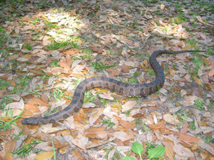harmless watersnake slender body