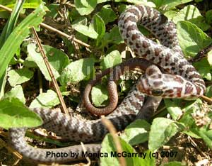 Brown snake florida eco travel guide.