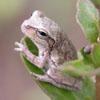 Pine Woods Treefrog