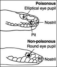 65ff8355860 Identifying Florida s Venomous Snakes