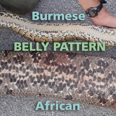 annotated photo comparing unmarked belly of Burmese python to heavily marked belly of African python