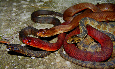 photo of saltmarsh watersnakes showing solid-colored and banded individuals