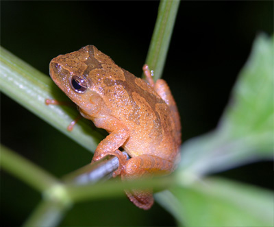 Spring Peeper by Steve A. Johnson