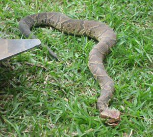 Venomous Water Moccasin or Harmless Watersnake?