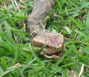 water moccasin head