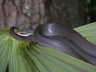 Photo Of Adult Black Racer